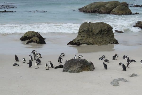 See the beautiful Penguins during 2 weeks in South Africa.