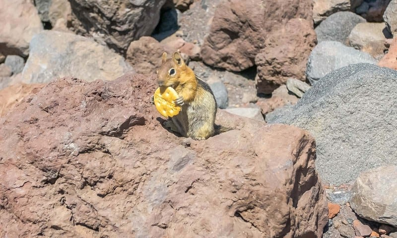 adorable chipmunk on our south sister hike