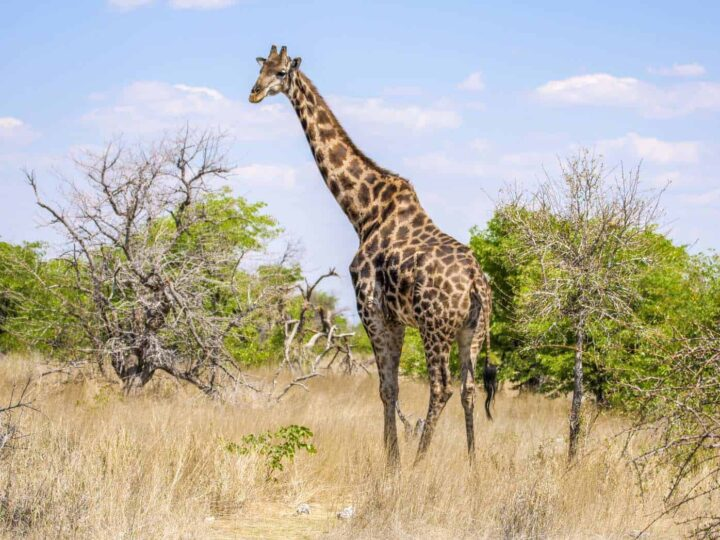 It was a great experience to encounter giraffe in our 2 week Namibia itinerary