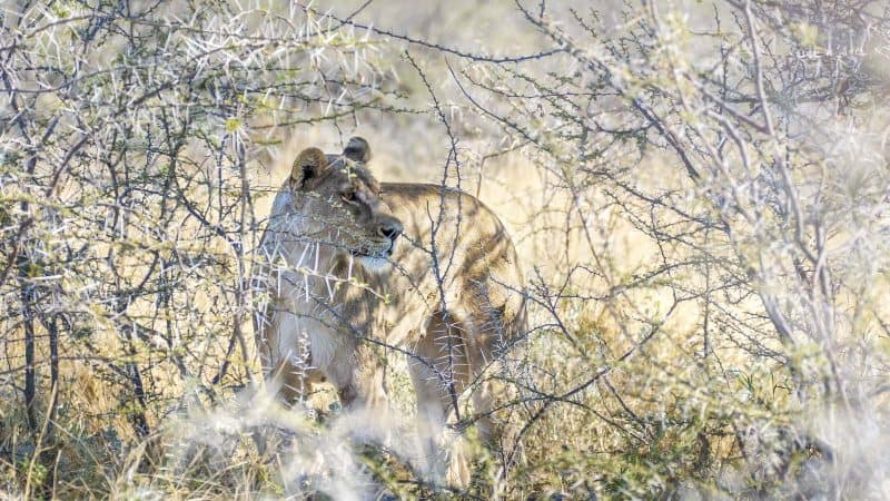 Etosha National Park in Namibia is home to many lions