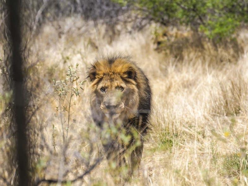 Lion close up at the Naankuse wildlife sanctuary Namibia