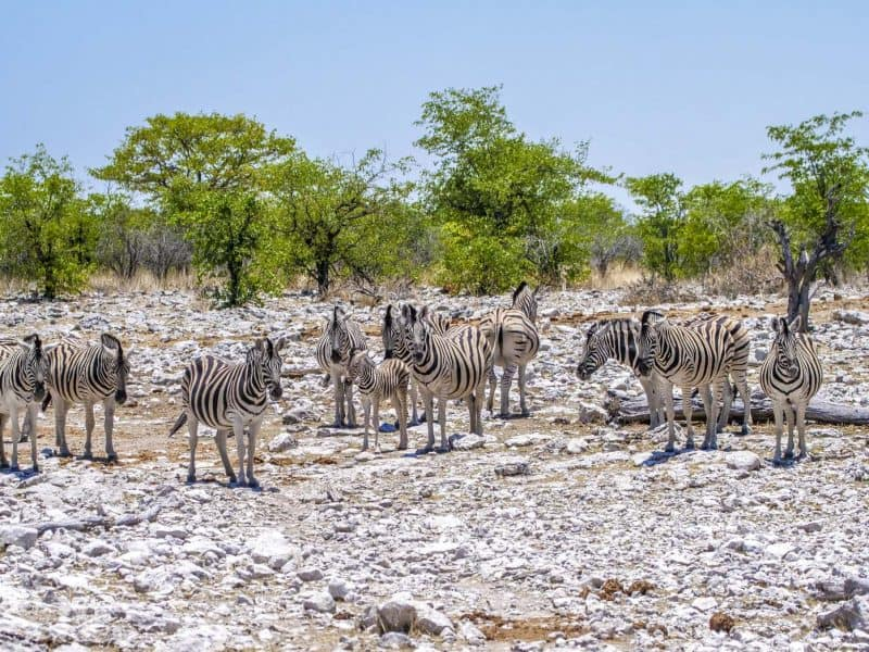 Watching Zebras at Etosha National Park in Namibia is one of the best activities to do