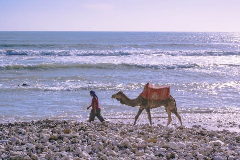 Tagahzout beach's camels out for a walk