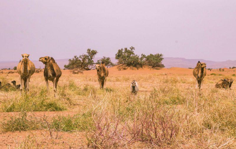 Camel ride on a Morocco desert tour.