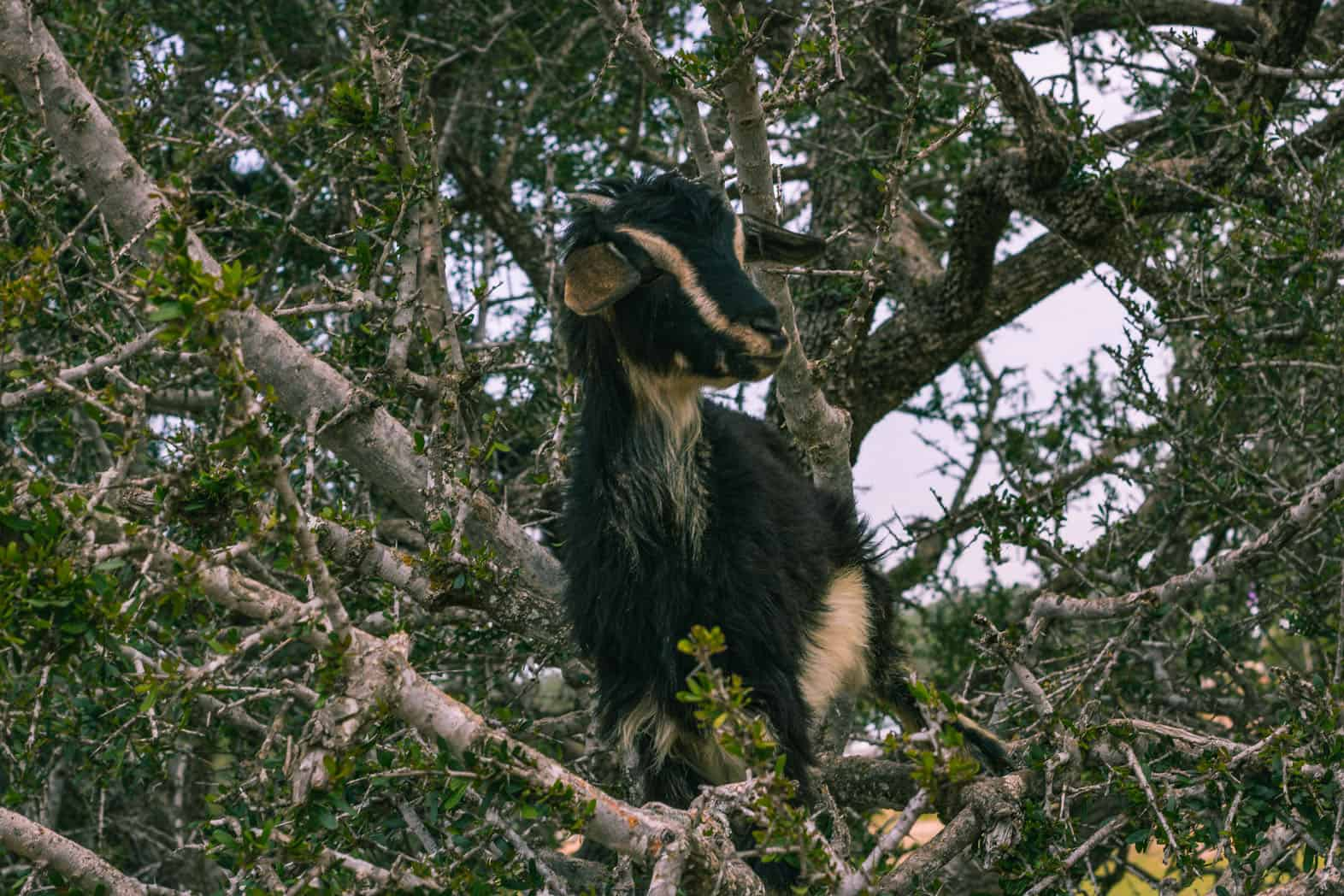Finding Goats in Trees in Morocco: The Ethical Way!  Finding Goats i...