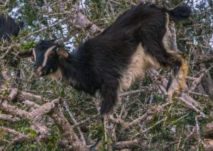 Goats climbing in trees in Morocco