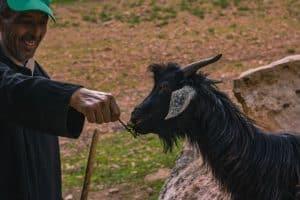 Goat eating argan seeds