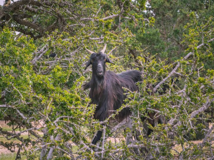 Finding Goats in Trees in Morocco: The Ethical Way!