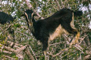 Goat in argan tree.