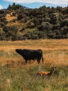 Bison Deer in Lake Tekapo