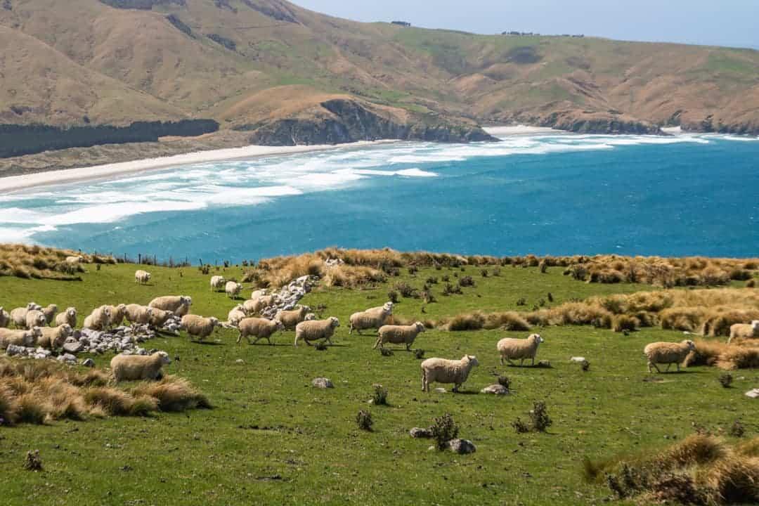 Sheep on Sandymount track