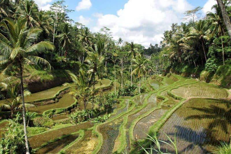 rice field nature Ubud Bali