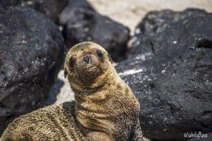 Baby sea lion Galapagos Islands