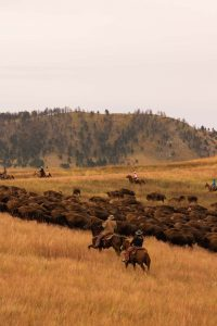 A photo of a buffalo round up — an exhilarating thing to do near Rapid City