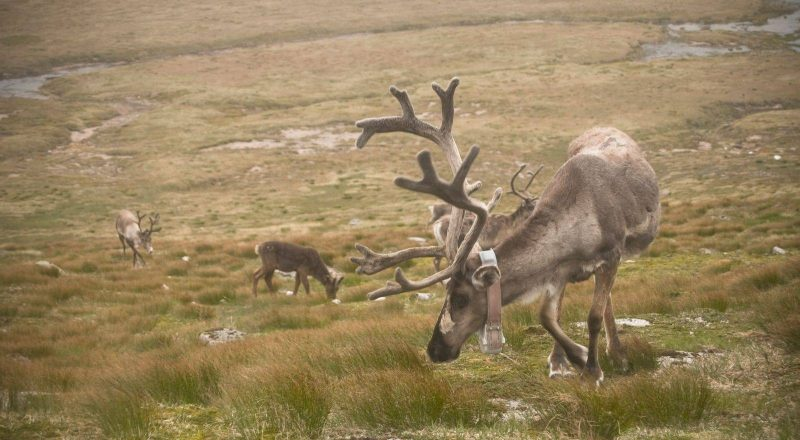 Photo of reindeer in Cairngorm National Park, Scotland road trip