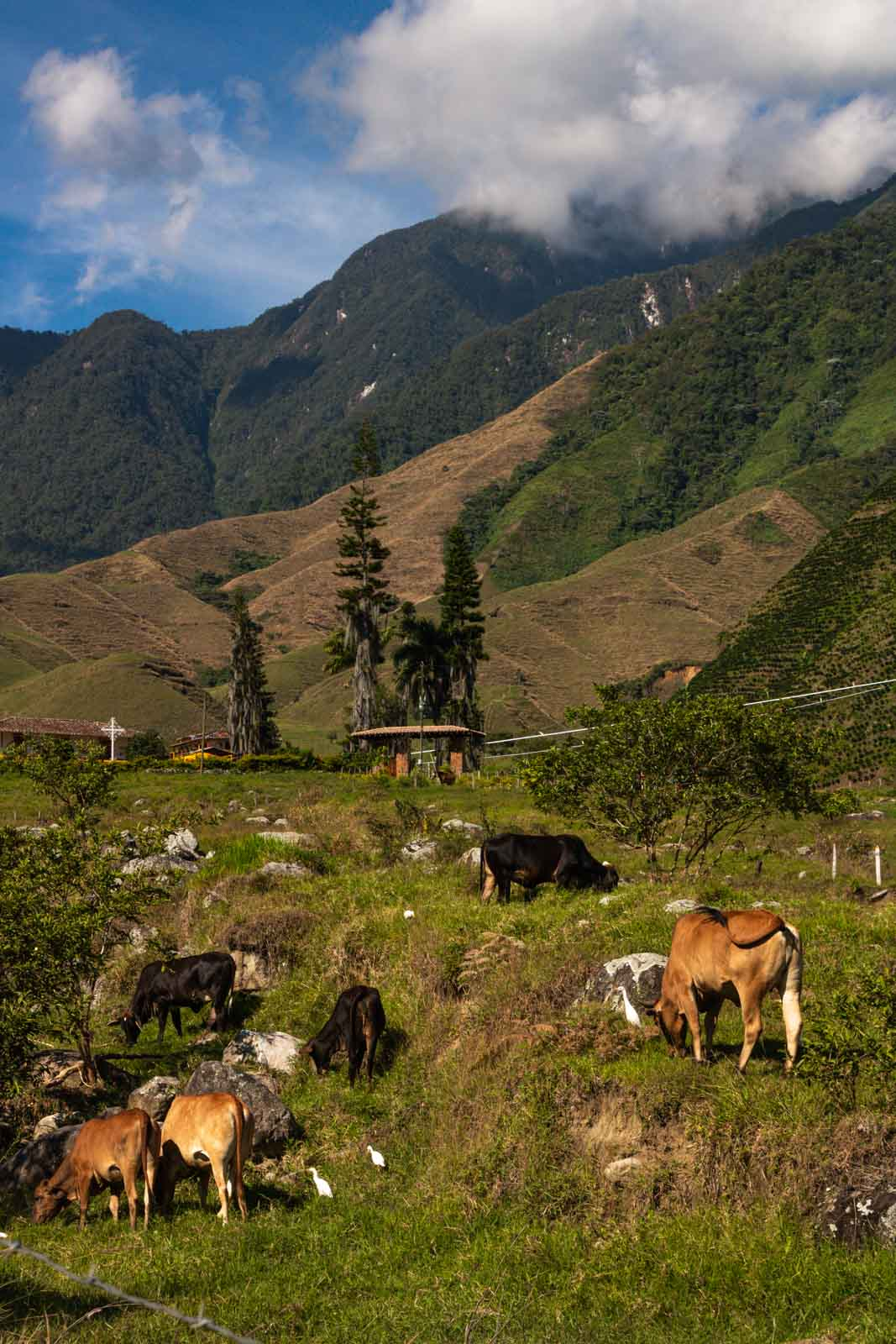 Cows in Jardin, Colombia.