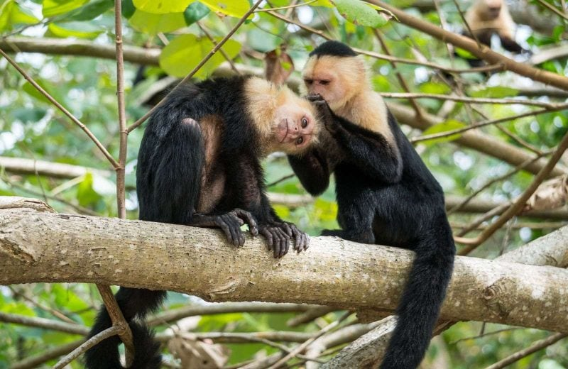 Puerto Limon Costa Rica has dense wildlife including Capuchin monkeys.