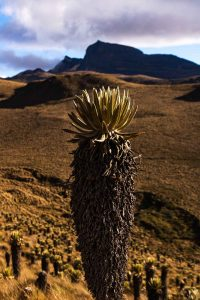 Even though the Los Nevados trek was tedious, we got to see some interesting plants along the way.