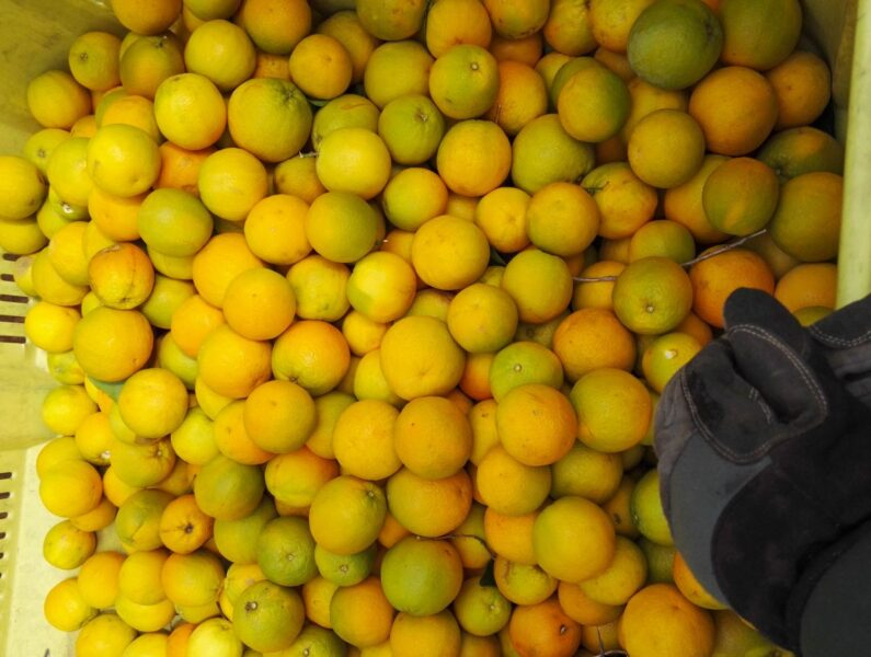 Pile of oranges with person's hand sorting them during their farm work in Australia