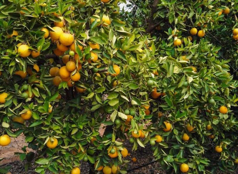 Orange tree with lots of oranges