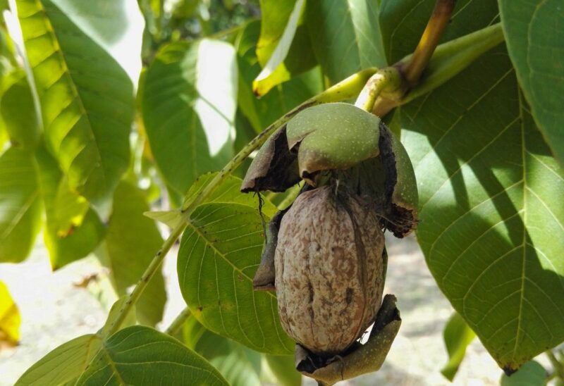 Walnut hanging on a walnut tree on a farm in Australia