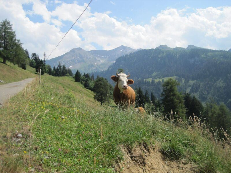 Cow in field with trees and mountains in background