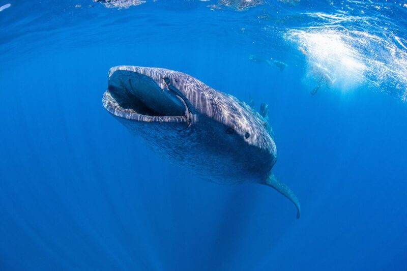 Whale shark underwater off Isla Holbox - a can't miss on your Yucatan Itinerary