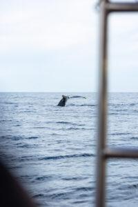 Whale tail in ocean at Sayulita