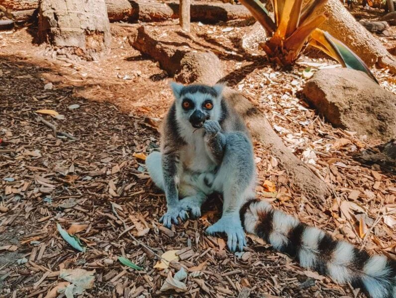 Lemur on ground at Currumbin Wildlife Sanctuary - a visit there is one of the best things to do on the Gold Coast