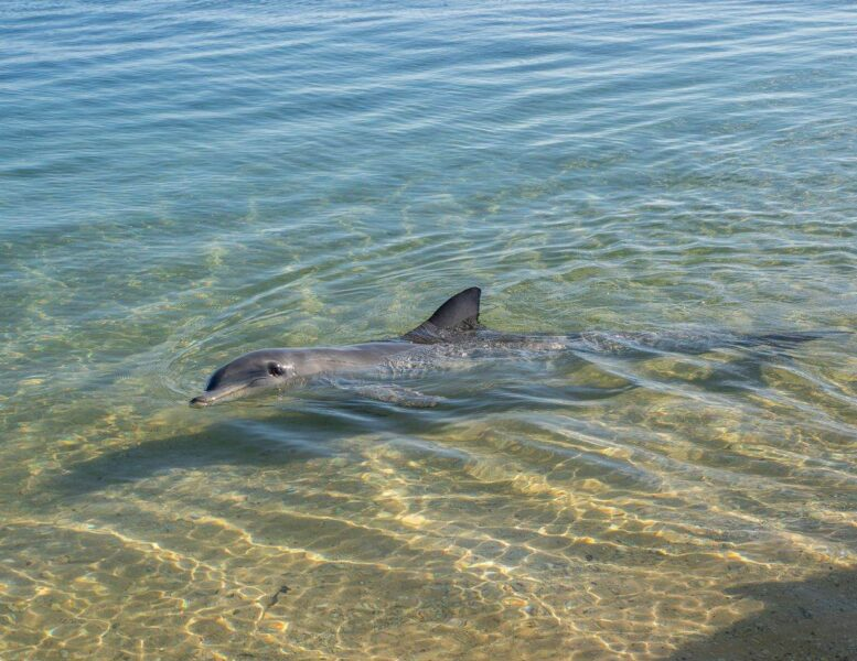 Dolphin in shallow water at Monkey Mia - feeding the dolphins is one of the best things to do in Western Australia