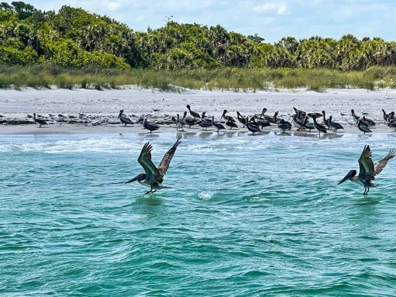Birds landing on water at Egmont Key State Park
