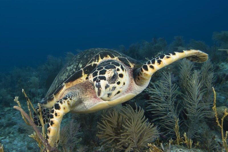 Turtle swimming in fort de soto park, florida