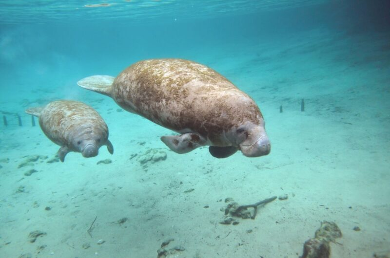 Two manatees swimming in Spring State Park, Florida